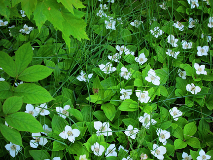 Adirondack Wildflowers:  Bunchberry blooming at the Paul Smiths VIC (3 June 2011)