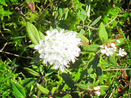 Adirondack Wildflowers:  Labrador Tea in bloom on Barnum Bog at the Paul Smiths VIC (3 June 2011)