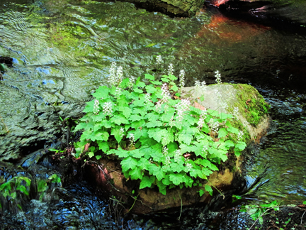 Adirondack Wildflowers:  Foamflower in bloom on a rock on Barnum Brook at the Paul Smiths VIC (3 June 2011)