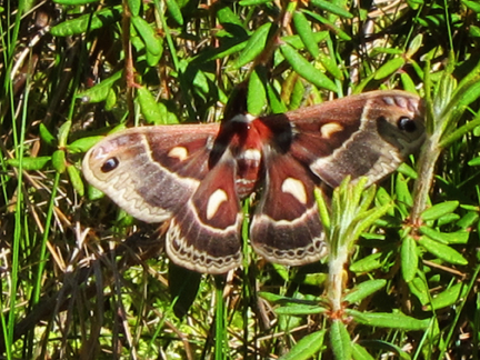Cecropia Moth on Barnum Bog at the Paul Smiths VIC (3 June 2011)