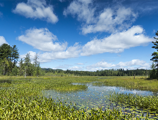 Adirondack Wetlands: Heron Marsh north from the floating bridge (10 August 2013)