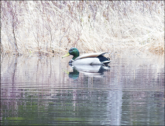 Birds of the Adirondacks: Male Mallard from the floating bridge (27 April 2013)