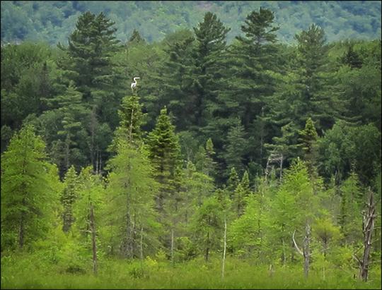 Birds of the Adirondacks:  Great Blue Heron on Heron Marsh (1 July 2011)