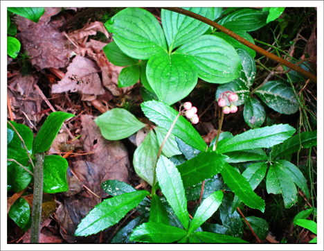Adirondack Wildflowers: Pipsissewa in bud in early July at the Paul Smiths VIC.
