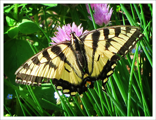 Butterflies of the Adirondack Mountains: Canadian Tiger Swallowtail (Papilio canadensis) at the Paul Smiths VIC Native Species Butterfly House (9 June 2012)