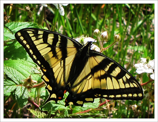 Butterflies of the Adirondack Mountains: Canadian Tiger Swallowtail (Papilio canadensis) near the Paul Smiths VIC Native Species Butterfly House (9 June 2012)