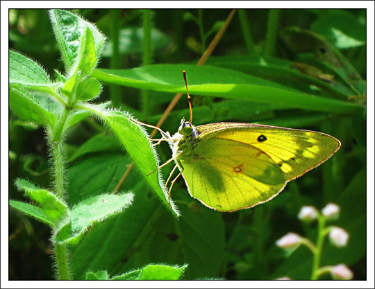 Butterflies of the Adirondack Mountains: Clouded Sulphur (Colias philodice) in the Paul Smiths VIC Native Species Butterfly House (16 June 2012)
