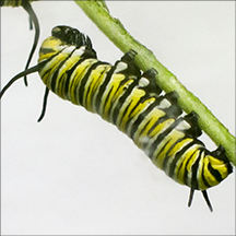 Monarch Caterpillar in the Paul Smiths VIC Butterfly House