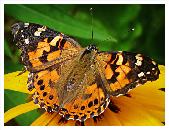 Butterflies of the Adirondack Mountains: Painted Lady (Vanessa cardui) in the Paul Smiths VIC Native Species Butterfly House (19 July 2012)