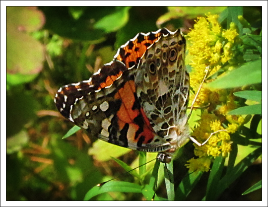 Butterflies of the Adirondack Mountains: Painted Lady (Vanessa cardui) in the Paul Smiths VIC Native Species Butterfly House (25 August 2012)