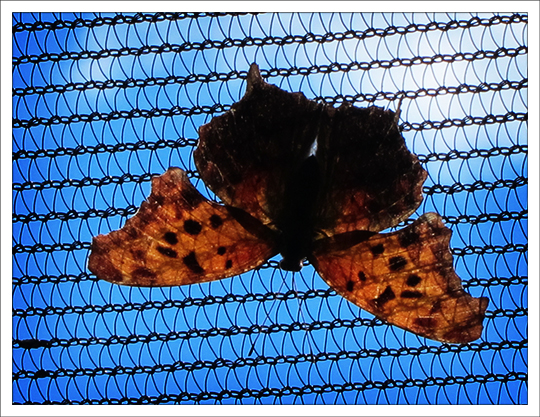 Butterflies of the Adirondack Mountains: Question Mark (Polygonia interrogationis) in the Paul Smiths VIC Native Species Butterfly House (13 June 2012)