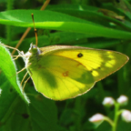Adirondack Butterflies -- Clouded Sulphur in the Paul Smiths Butterfly House (16 June 2012)