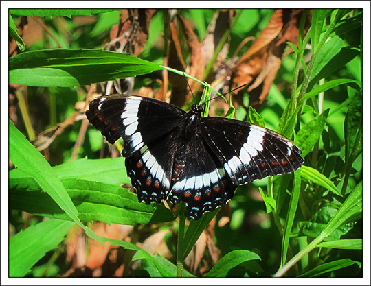 Butterflies of the Adirondack Mountains: White Admiral (Limenitis arthemis) in the Paul Smiths VIC Native Species Butterfly House (28 June 2012)