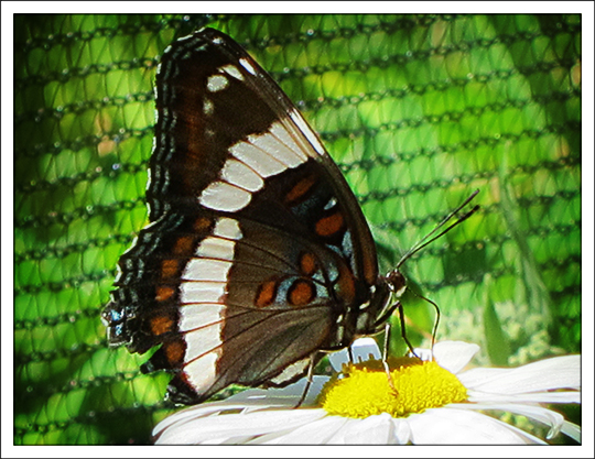 Butterflies of the Adirondack Mountains: White Admiral (Limenitis arthemis) in the Paul Smiths VIC Native Species Butterfly House (30 June 2012)