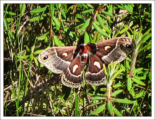 Moths of the Adirondack Mountains: Columbia Silkmoth (Hyalophora columbia) on the Boreal Life Trail at the Paul Smiths VIC (3 June 2011)