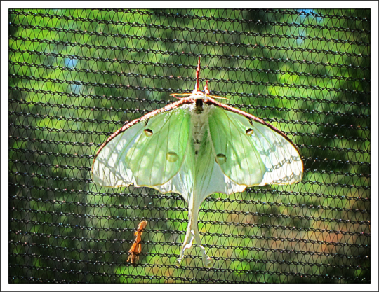 Moths of the Adirondack Mountains: Luna Moth (Actias luna) in the Paul Smiths VIC Native Species Butterfly House (30 June 2012)