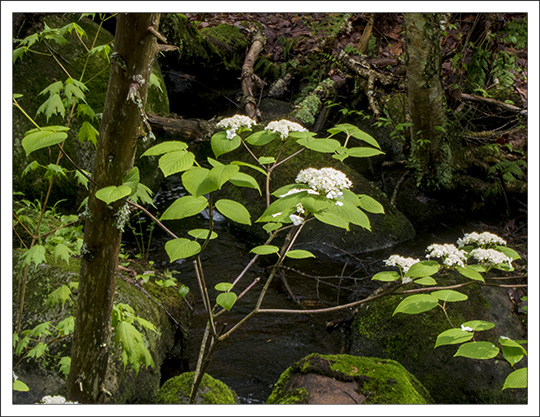 Shrubs of the Adirondack Mountains:  Hobblebush along the Barnum Brook Trail at the Paul Smiths VIC (22 May 2013)