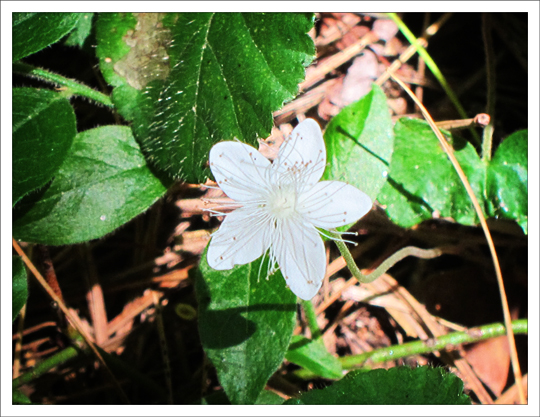 Adirondack Wildflowers:  False Violet | Dewdrop (30 July 2012)