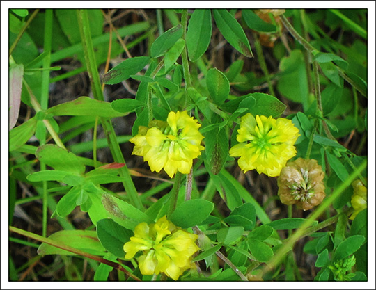 Wildflowers of the Adirondack Mountains:  Hop Clover (Trifolium aureum) on the Barnum Brook Trail at the Paul Smiths VIC (20 July 2013)