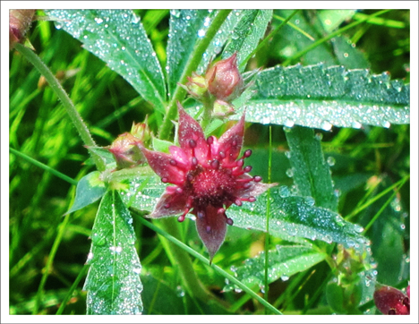 Adirondack Wildflowers:   Marsh Cinquefoil blooming in Barnum Bog (7 July 2012)
