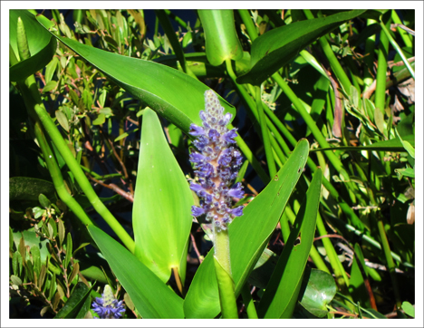 Adirondack Wildflowers:  Pickerelweed on Heron Marsh at the Paul Smiths VIC (5 July 2011)