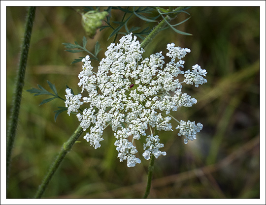 Wildflowers of the Adirondack Mountains:  Queen Anne's Lace (Daucus carota) on the Woods and Waters Trail at the Paul Smiths VIC (23 August 2013)