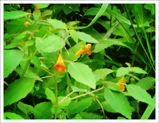 Adirondack Wildflowers:  Spotted Touch-Me-Not (Impatiens capensis) on the Jenkins Mountain Trail at the Paul Smiths VIC (27 July 2011)