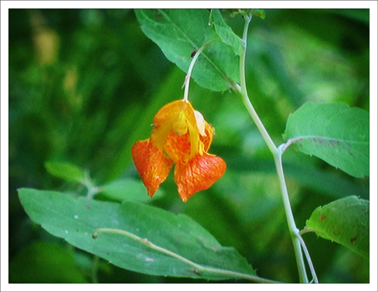 Adirondack Wildflowers:  Spotted Touch-Me-Not (Impatiens capensis) on the Black Pond Trail at the Paul Smiths VIC (16 August 2012)