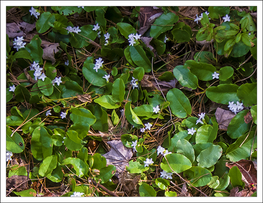 Adirondack Wildflowers:  Trailing Arbutus (Epigaea repens) on the Heron Marsh Trail at the Paul Smiths VIC (8 May 2013)