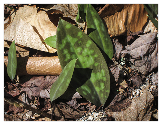 Adirondack Wildflowers:  Mottled leaves of the Trout Lily on the Jenkins Mountain Trail at the Paul Smiths VIC (1 May 2013)