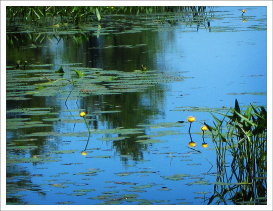 Adirondack Wildflowers:  Yellow Pond Lily (Nuphar lutea) on the Silviculture Trail at the Paul Smiths VIC (28 June 2012)