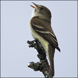Boreal Birds of the Adirondacks: Alder Flycatcher.  Photo by Larry Master. www.masterimages.org