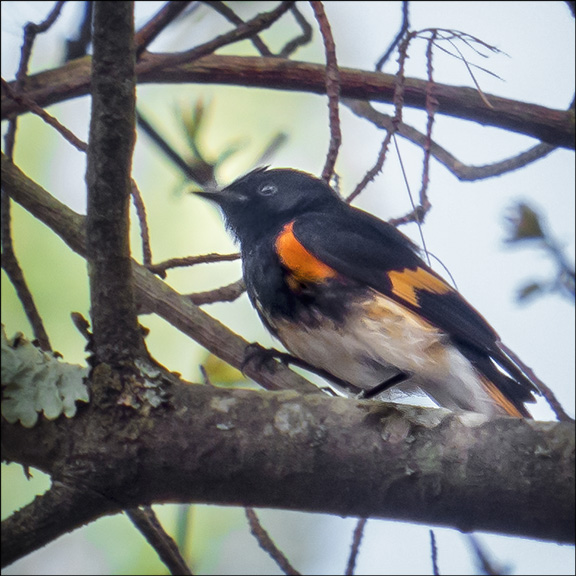 Birds of the Adirondack Mountains: American Redstart on the Black Pond Trail at the Paul Smiths VIC (15 May 2014)