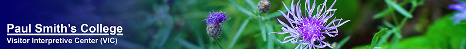 Adirondack Wildflowers:  Spotted Knapweed on the Esker Trail at the Paul Smiths VIC (21 August 2013)
