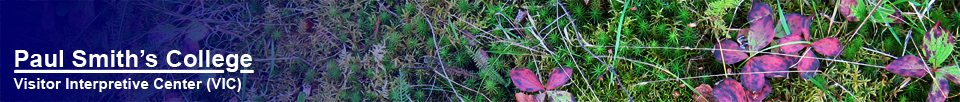 Adirondack Wildflowers:  Bunchberry (25 September 2011)