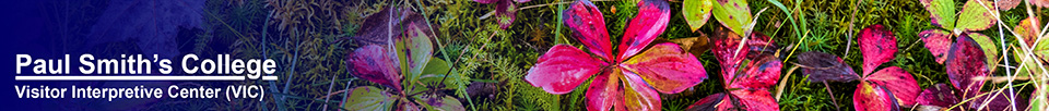 Wildflowers of the Adirondacks:  Bunchberry at the Paul Smiths VIC (6 October 2014)