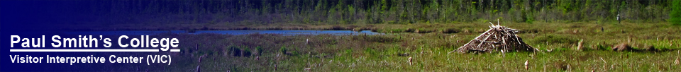 Paul Smiths VIC -- Adirondack Birding Center Bird Walk | Active Beaver Dam on Heron Marsh -- 16 May 2012