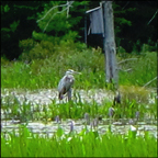 Birds of the Adirondacks:  Great Blue Heron on Heron Marsh at the Paul Smiths VIC (19 July 2012)