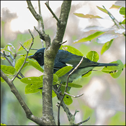 Birds of the Adirondacks: Black-throated Blue Warbler on the Heron Marsh Trail at the Paul Smiths VIC (10 August 2013)