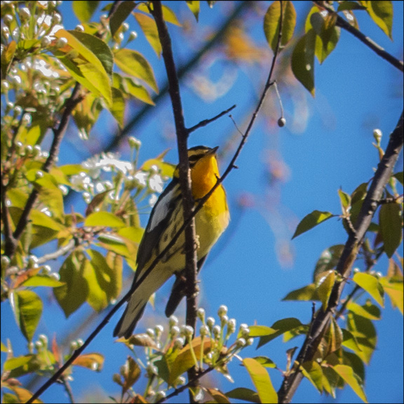 Birds of the Adirondacks: Male Blackburnian Warbler near the VIC parking lot (20 May 2014)