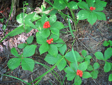 Adirondack Wildflowers: Bunchberry fruiting in late July at the Paul Smiths VIC