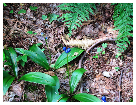 Adirondack Wildflowers:  Clintonia  (Bluebead Lily) at the Paul Smiths VIC (22 July 2012)