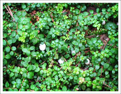 Adirondack Wildflowers:  Creeping Snowberry at the Paul Smiths VIC in Early August