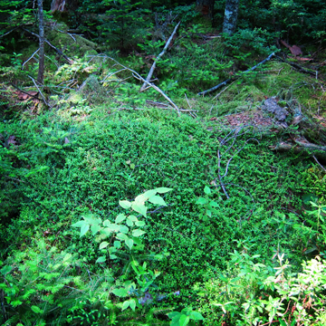 Adirondack Wildflowers: Creeping Snowberry near the Barnum Pond Overlook on the Boreal Life Trail