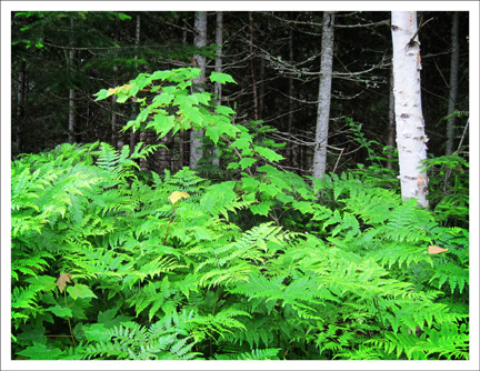 Paul Smiths Visitor Center:  Ferns and White Birch near the VIC parking lot -- A birding hot spot at the VIC