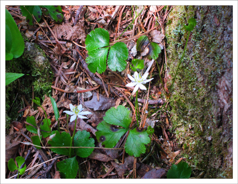 Adirondack Wildflowers: Goldthread in bloom at the Paul Smiths VIC (19 May 2012)