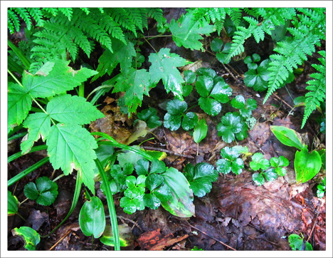 Adirondack Wildflowers: Goldthread | Evergreen foliage (21 July 2010)