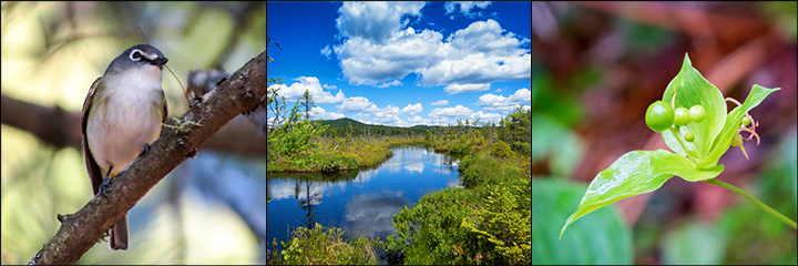 Explore nature in the Adirondack Mountains on a guided nature walk. Blue-headed Vireo (10 May 2016), Barnum Bog (26 June 2015), Indian Cucumber Root (27 July 2015).