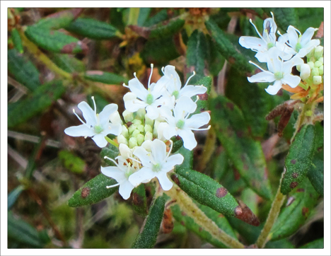 Adirondack Wildflowers: Labrador Tea in bloom (26 May 2012)