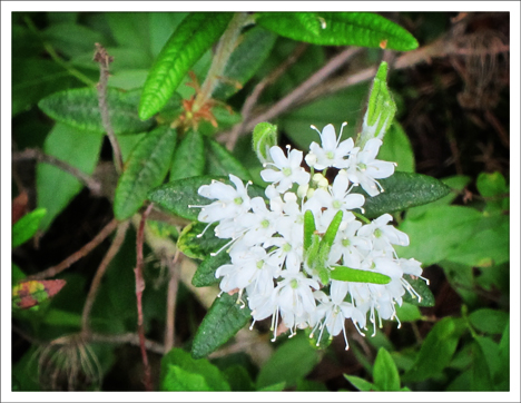 Adirondack Wildflowers:  Labrador Tea in bloom (30 May 2012)